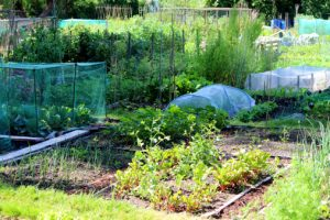Image of allotment vegetable garden with beetroot, onions, cabbages, betting